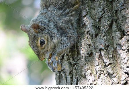 Cute squirrel clutching a peanut in his paws