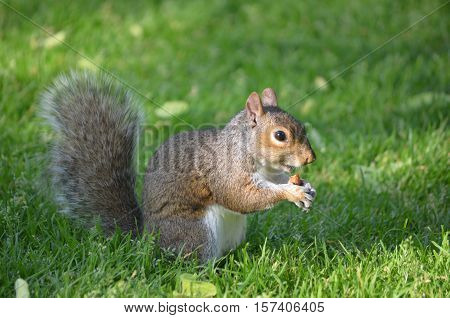 Adorable face of a squirrel eating a peanut in the grass.