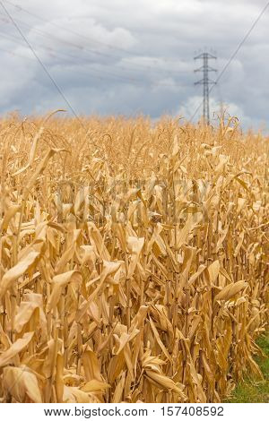 Mature wheat field with electrification tower in the background