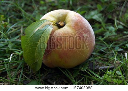 Ripe peaches with yellow-red skin lie on green grass