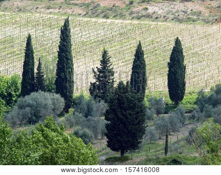 Tuscan landscape with vineyards olive trees and cypresses poster