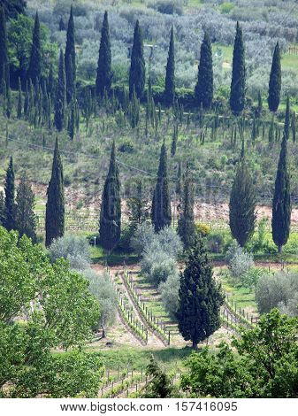 Typical Tuscan landscape with vineyards and cypresses