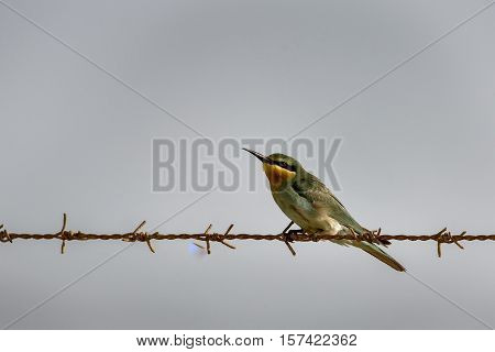 A Blue-cheeked Bee-Eater perched on a fence wire in a farm in Bahrain
