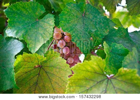 Bunch of grapes on a vine in the sunshine The winegrowers grapes on a vine