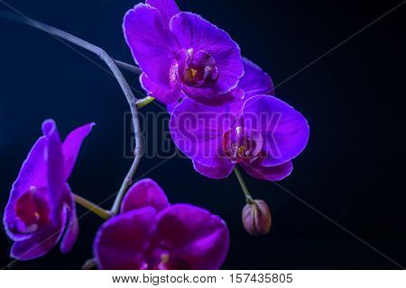 Blooming Fantastic Purple Orchid Flower, Phalaenopsis On Black Background, Close Up