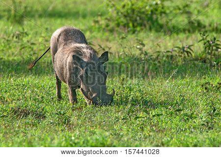 Grazin warthog in Ngorongoro national park in Tanzania