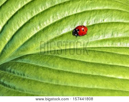 ladybird on a green leaf in the sunlight