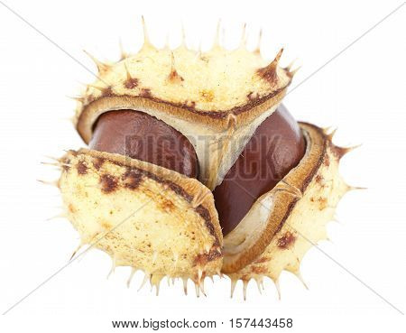 open chestnut in peel on white background