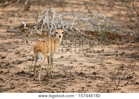 An adult steenbok in Kruger National Park. The steenbok is the smallest antelope in Southern and Eastern Africa.