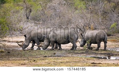 A family group of three rhinoceroses in Kruger National Park