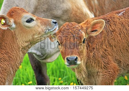 Calves with their mother in a field