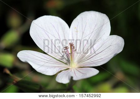 Geranium psilostemon- Kashmir White flower is good to use as ground cover and in borders