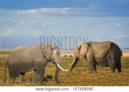 Pair of African elephants (Loxodonta africana) Marsai Mara National Reserve Kenya
