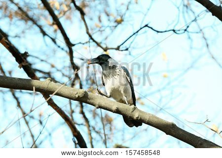 Cute crow with spoil sitting on branch, sky background