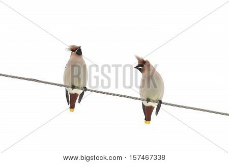 two birds waxwings on the wires sitting on a white isolated background