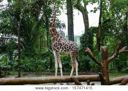 A giraffe nibbling leaves from the trees. Giraffe with a long neck eating tree leafs
