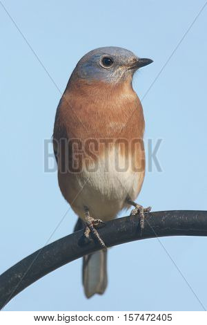 Male Eastern Bluebird (Sialia sialis) in a perch with a blue background