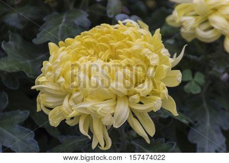 Yellow Chrysanthemum In Bloom