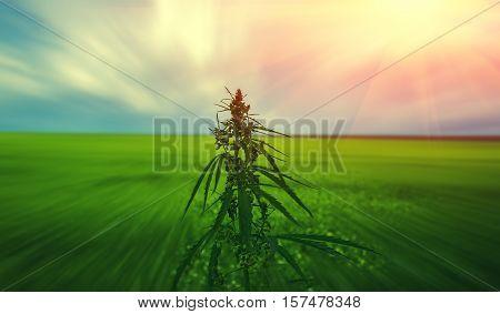 bush marijuana on blurred summer background. bush cannabis.