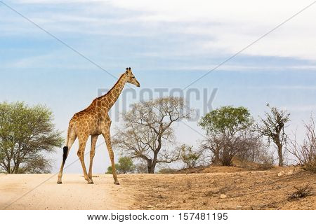 South African or Cape giraffe walking along the road in Kruger national park.