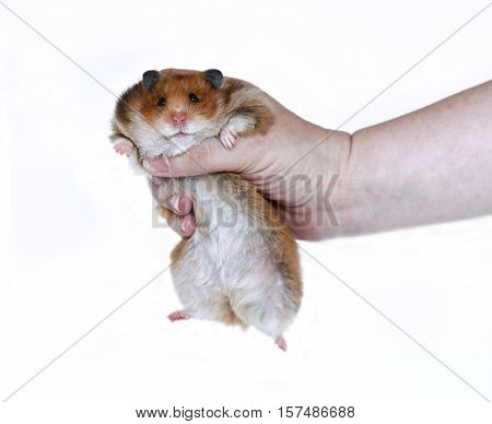 Funny Brown Syrian hamster in a female hand isolated on white background