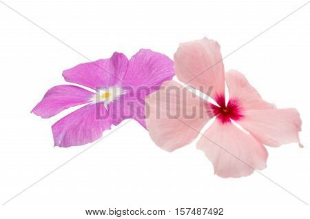 Beautiful pink vinca flowers (madagascar periwinkle) isolated on white background