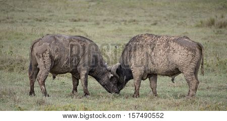 The African buffalo or Cape buffalo is a large African bovine.