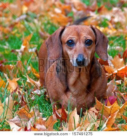 A photo of a miniature dachshund standing in a lawn covered with autumn leaves