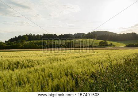 Cornfield shimmers in spring in a romantic hilly landscape