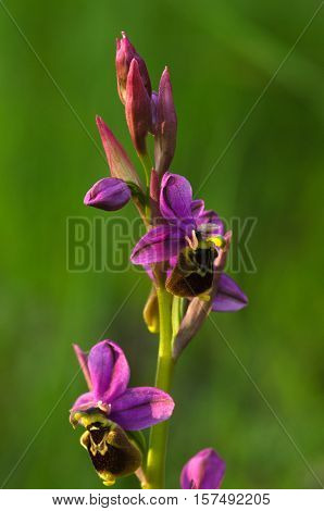 Wild Orchid Hybrid Oprhys X Turiana Flowers Against Grass Green Background