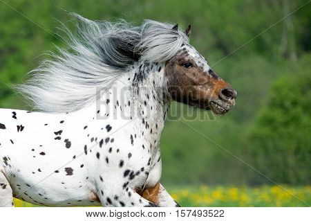 Appaloosa horse runing on the meadow in summer time close up
