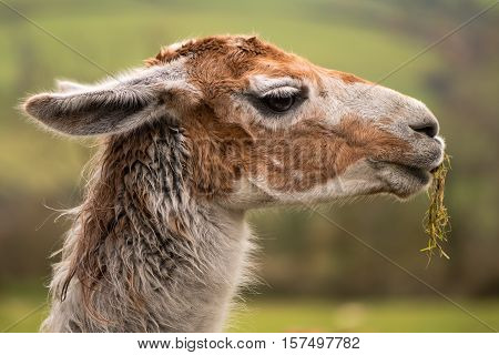 Llama head with grass hanging from mouth. Brown and white camelid in profile chewing grass with matted hair