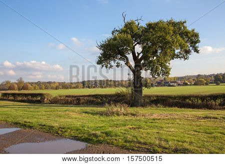 Single autumnal tree on farmland in Essex