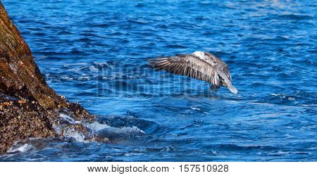 Pelican flying off the water after catching and eating a fish near Los Arcos / Lands End in Cabo San Lucas Baja Mexico