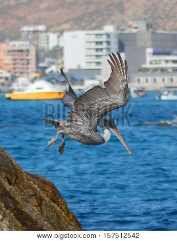 Pelican flying down and diving to catch a fish near Los Arcos / Lands End in Cabo San Lucas Baja Mexico