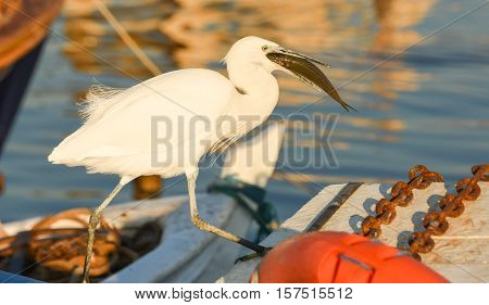 The Great Egret ( Ardea alba ). White heron eating fish on a boat in marina.