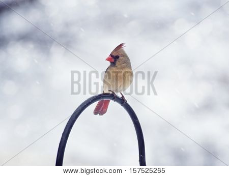 Northern Cardinal Female in the winter