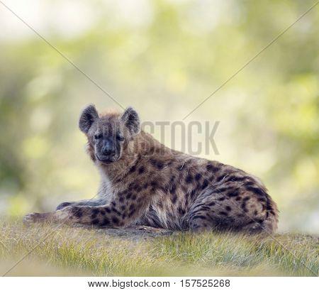 Spotted hyena resting in grassland