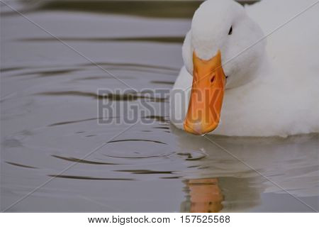 A white duck sitting on the calm water.