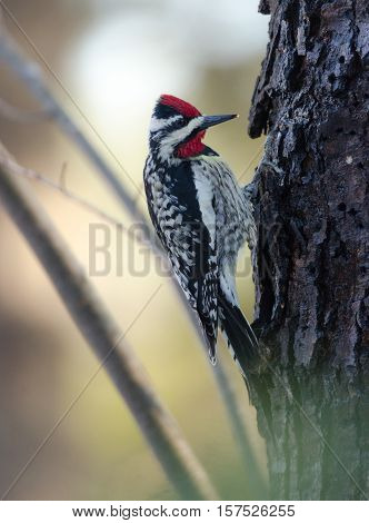 Yellow-bellied Sapsucker on a tree, doing as his name infers:  Sphyrapicus varius. Order: Piciformes FAMILY: Picidae, on a maple tree looking for the elusive sap.  He really does like it.