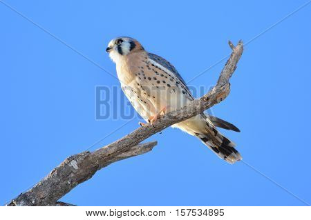 AMERICAN KESTREL or SPARROW-HAWK Falco sparverius. Resting on branch with clear blue sky background.