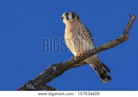 AMERICAN KESTREL or SPARROW-HAWK Falco sparverius, perched on branch. Clear blue sky background.