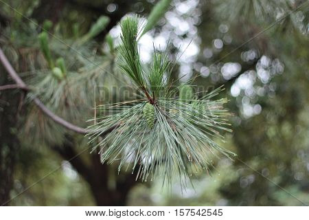 Fir branch and pine cone with green burry background.