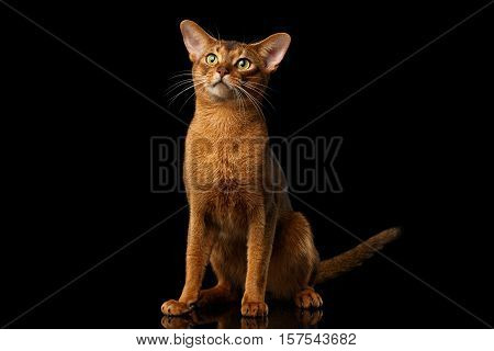 clumsy abyssinian cat sitting with curious face, isolated on black background with reflection