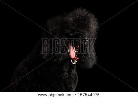 Close-up Portrait of Yawn Black poodle dog on isolated black background