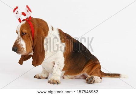 Happy New Year, Christmas Basset , isolated on white background