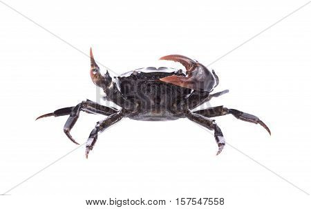 Crab (Field crab) Isolated on white background