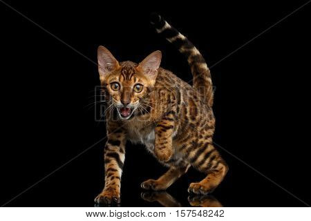 Playful kitty Bengal breed, gold Fur with rosette Looking up, Crouching on isolated on Black Background with reflection