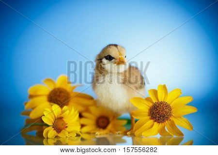 little chick with daisies on a blue background