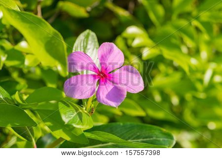 Rose Periwinkle In The Morning